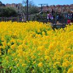春到来!ディズニーシーで菜の花が見頃に【ディズニーシー】